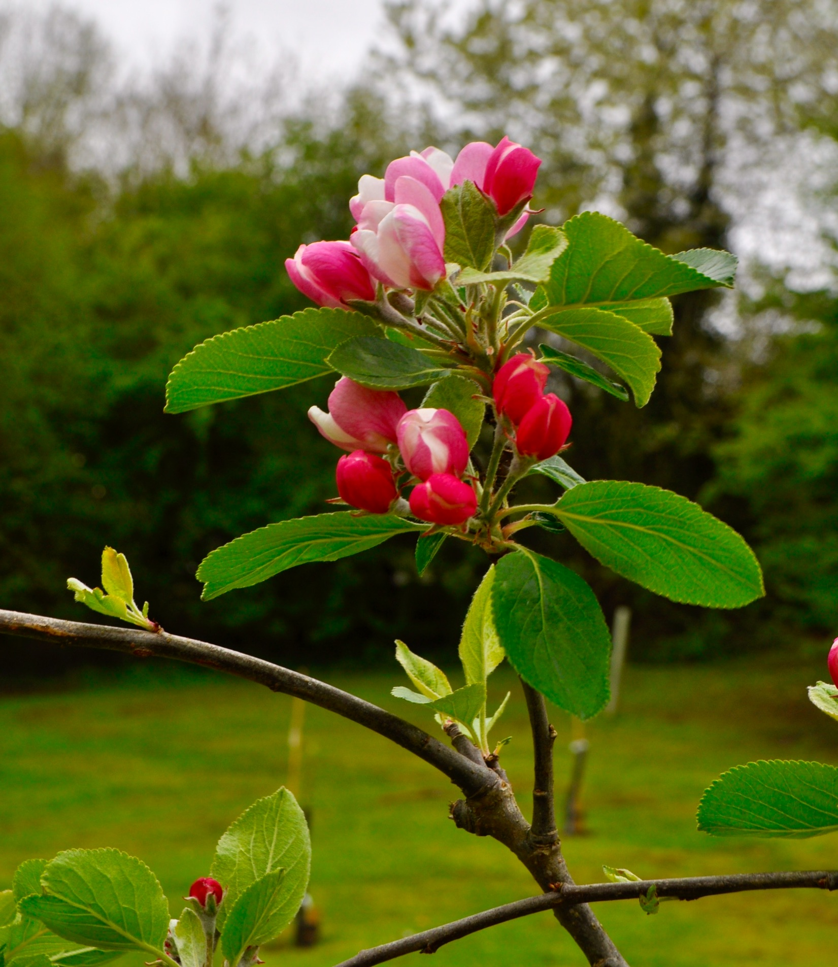 Blossom is Blooming in the Community Orchard
